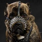 Cane Corso Leather Muzzle Nappa Padded, Royal