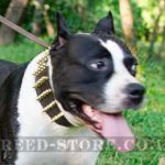 Extra Wide Leather Dog Collar with Brass Spikes for Amstaff
