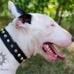 Walking Dog Collar for Bull Terrier, Nylon with Nickel Studs