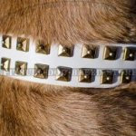Leather Collar for Cane Corso, White Color and Square Studs