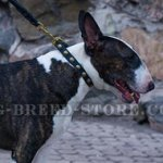 Studded English Bull Terrier Collar of Narrow Width