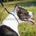 Effective Rolled Leather Dog Collar for Pitbull & Staffy