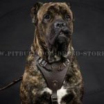 Leather Dog Harness for Cane Corso Training, Work and Walking