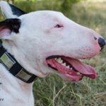 Funky Dog Collar with Nickel Decoration for Bull Terrier