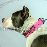 Female Dog Collar of Ultra Pink Colour for Amstaff Girl