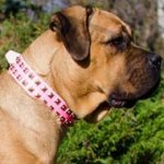 Cane Corso Leather Dog Collar Female in Pink