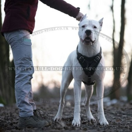 Heavy Duty Dog Harness for Dogo Argentino