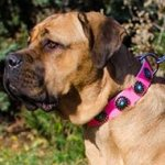 Collar for Cane Corso Female, Pink Leather and Blue Stones