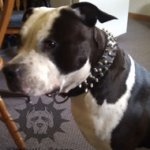 Spiked Dog Collar for Walk in Style with Amstaff