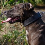 Bestseller! Padded Dog Collar for Pitbull of Leather with Felt