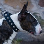 Studded Bull Terrier Collar for Walks in Style