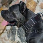 Cane Corso Leather Collar Extra Wide with Pyramids