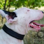 Bestseller! Padded Dog Collar Felt-Lined for Bull Terrier
