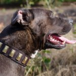 Funky Dog Collar with Brass Plates for Staffy