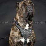 Cane Corso Walking Harness of Leather with Pyramids