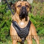 Leather Harness for Cane Corso with Brass Spikes