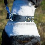 Pitbull Studded Dog Collar for Daily Activities