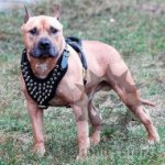 Amstaff Harness of Leather with Spiked Chest Plate