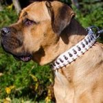 Cane Corso Collar of White Leather with Spikes and Studs