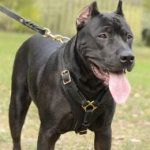 Bestseller! Strong Dog Harness of Padded Leather for Pitbull