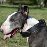 Wide Leather Agitation Dog Collar for Bull Terrier and Pitbull