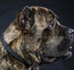 Cane Corso Mastiff Collar of Double Thick Narrow Leather