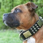 Magnificent Pitbull Collar with Brass Massive Plates and Spikes
