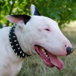 Spiked Dog Collar of Selected Natural Leather for Bull Terrier