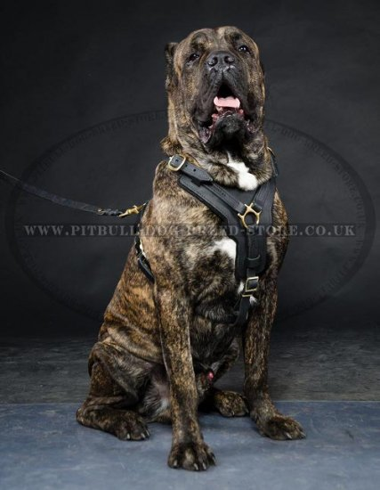 Cane Corso Chest Harness of Leather, Super Strong