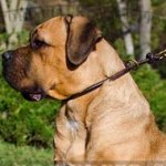 Cane Corso Training Collar for Obedience and Control