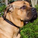 Cane Corso Mastiff Collar Nylon with Quick-Release Buckle