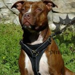 Perfect Pitbull Dog Walking Harness of Leather