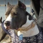 "Effective Pitbull Curogan Training Collar with 1/6"" Prongs"