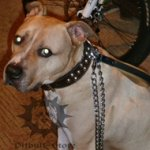 Chain Leash for Pitbull Walking with Leather Handle!