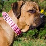 Cane Corso Collar for Female Dog of Decorated Pink Leather