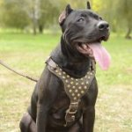 Studded Dog Harness for Pitbull, Designer Leather Accessory