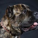 Cane Corso Leather Collar with Studs and Cones