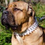 Cane Corso Collar of White Leather with 2 Rows of Spikes