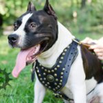 Royal Dog Harness of Padded Leather & Brass Studs for Amstaff