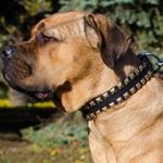 Cane Corso Leather Dog Collar with Square Brass Studs