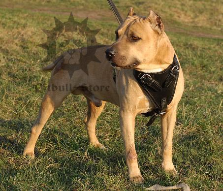 Pitbull Leather Harness