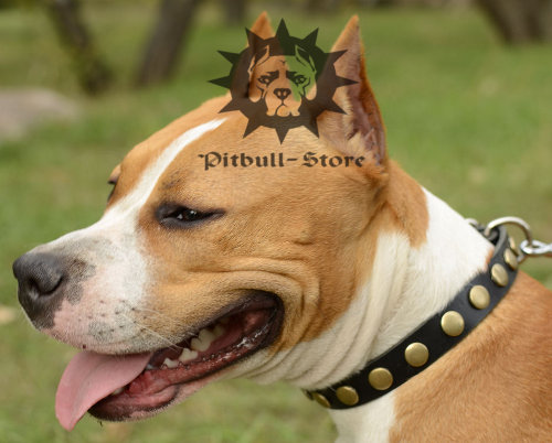 Designer Dog Collar for Amstaff