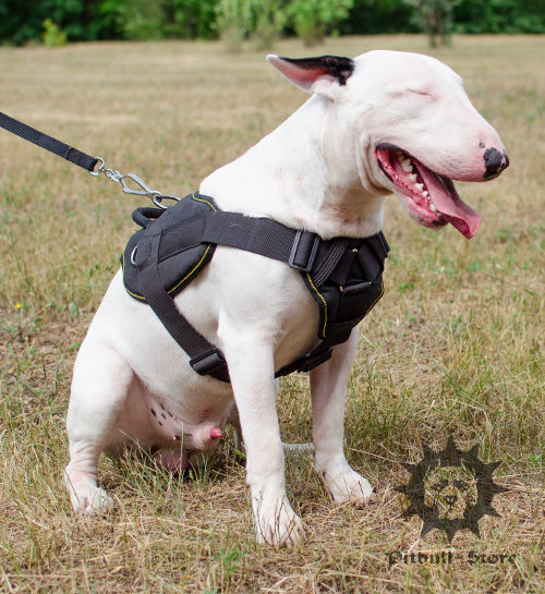 Bull Terrier with dog training harness