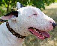 Bull Terrier Collar with Square Studs | Fashion Dog Collar