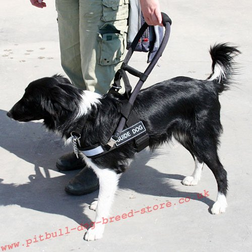 Guide Dog Day, Border Colly in the Guide Harness