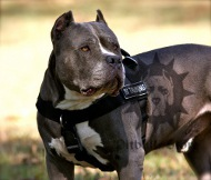 Pitbull Harness for