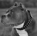 Pitbull dog collar studded, leather studded
