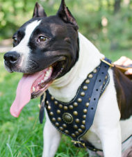 Royal Dog Harness, Padded Leather & Brass Studs for Staffy Walks