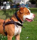 Staffordshire Bull Terrier Harness UK | Tracking/Pulling