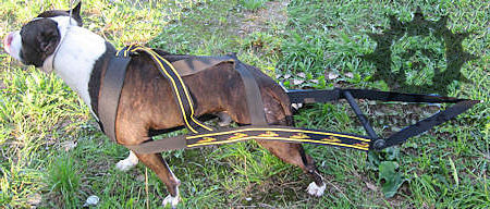 staffy dog pulling harness
